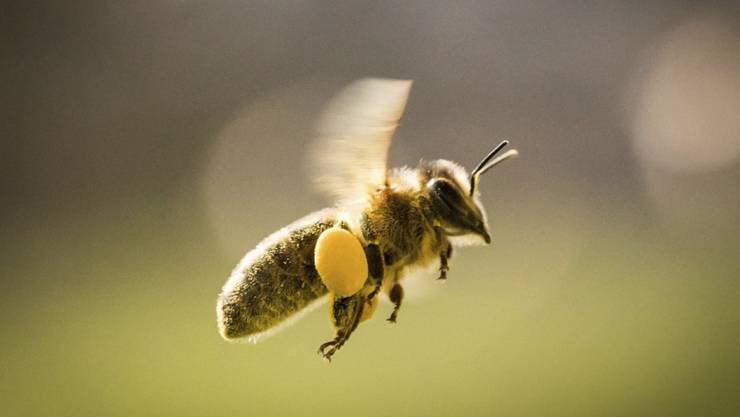 """Das Summen von Bienen scheint eine Nachtkerzenart """"hören"""" zu können. (Archivbild)"""
