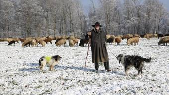 Wander-Schäfer Hans van der Graaff – hier zwischen Zeihen und Densbüren – ist ständig auf der Suche nach neuen Futterquellen für seine Herde, die aus 400 Schafen und Lämmern besteht.