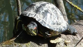 Diese Rotwangen-Schildkröte ist in Nordamerika beheimatet. AZ/Archiv