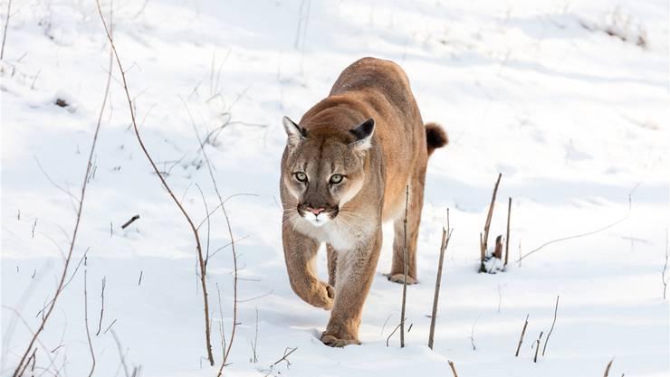 Pumas sind scheu und selten anzutreffen. Eher sieht man ihre Spuren im Schnee.