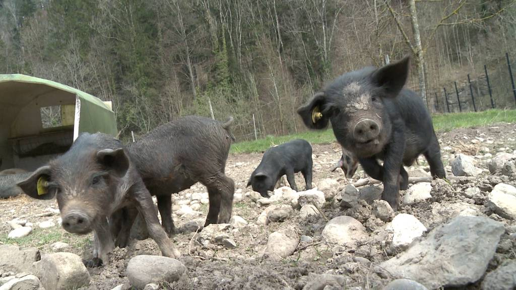 Schwarzes Alpenschwein