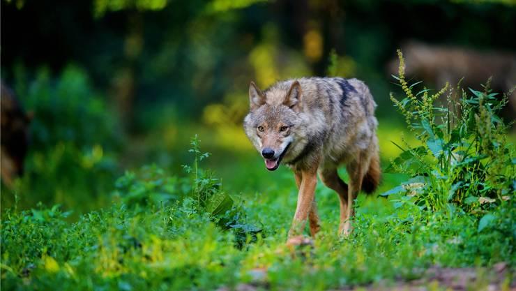 Für den Wolf wird es in der Schweiz ungemütlicher. Imago