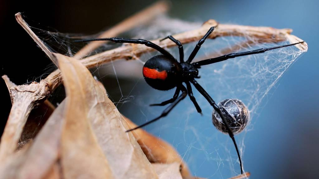 Die Rotrückenspinne lebt in Australien und gehört zu den gefährlichsten Tieren der Welt. Die Polizei hat leider nicht verraten, welche Spinne der Mann in Sydney jagte.
