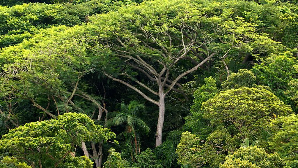 ARCHIV - Dichter Regenwald, aufgenommen 2006 auf der Ilha do Cardoso im Bundesstaat Sao Paulo. Foto: Ralf Hirschberger/dpa-Zentralbild/dpa