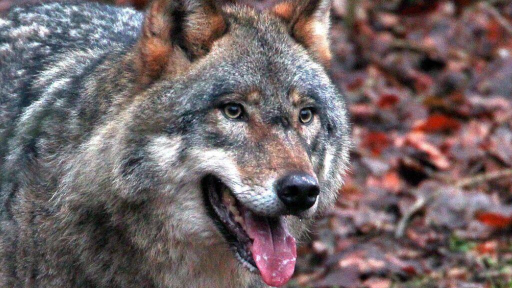 Glarner Wolfsrudel dürfte im Winter auch in Dorfnähe aufkreuzen