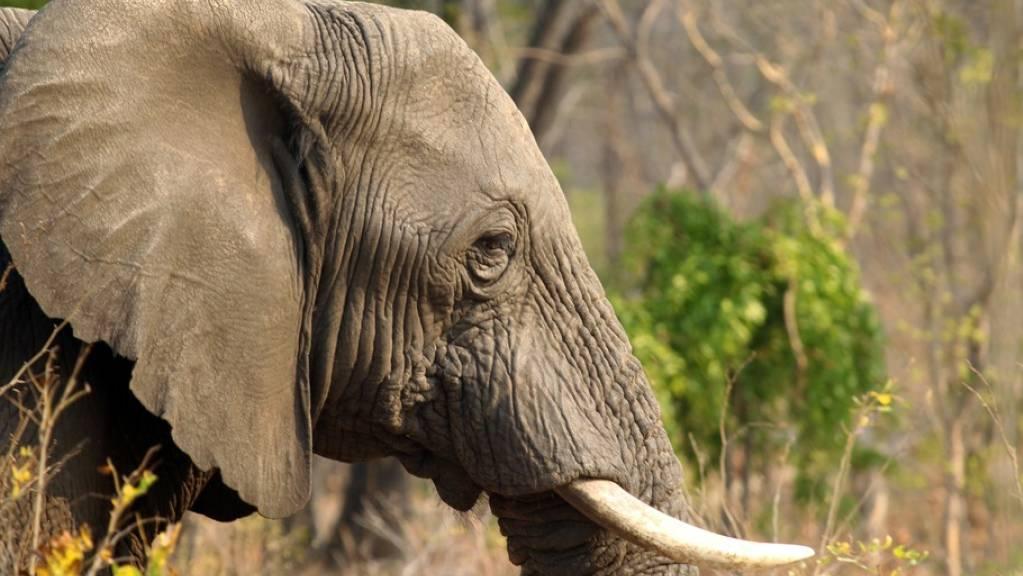 Rund 600 von der Dürre geschwächte Elefanten sollen in andere Gebiete umgesiedelt werden. (Symbolbild)