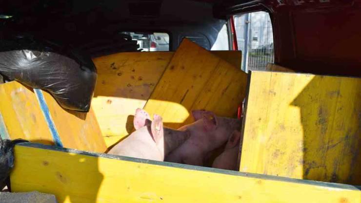Auch drei Schweine waren an Bord des überladenen Lieferwagens.
