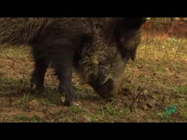 Tschernobyl: Wie verstrahlt sind bayerische Wildschweine? - Faszination Wissen