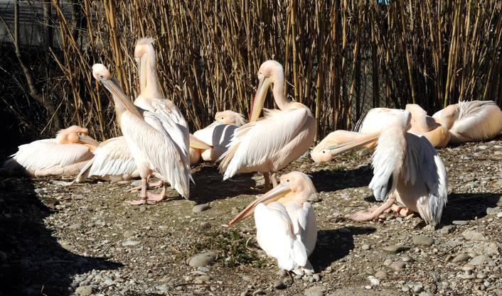 Pelikane, der Lenz ist da!
