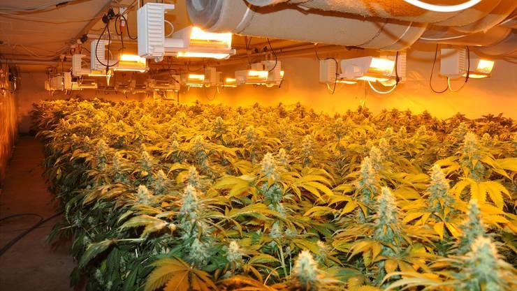 Im November hob die Kantonspolizei diese Indoor-Hanf-Anlage in Gunzgen aus und vernichtete 1250 Pflanzen. Regelmässig findet die Polizei solche illegalen Plantagen.