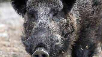 Ein Wildschwein hat in Deutschland in einer Bäckerei gewütet. (Symbolbild)