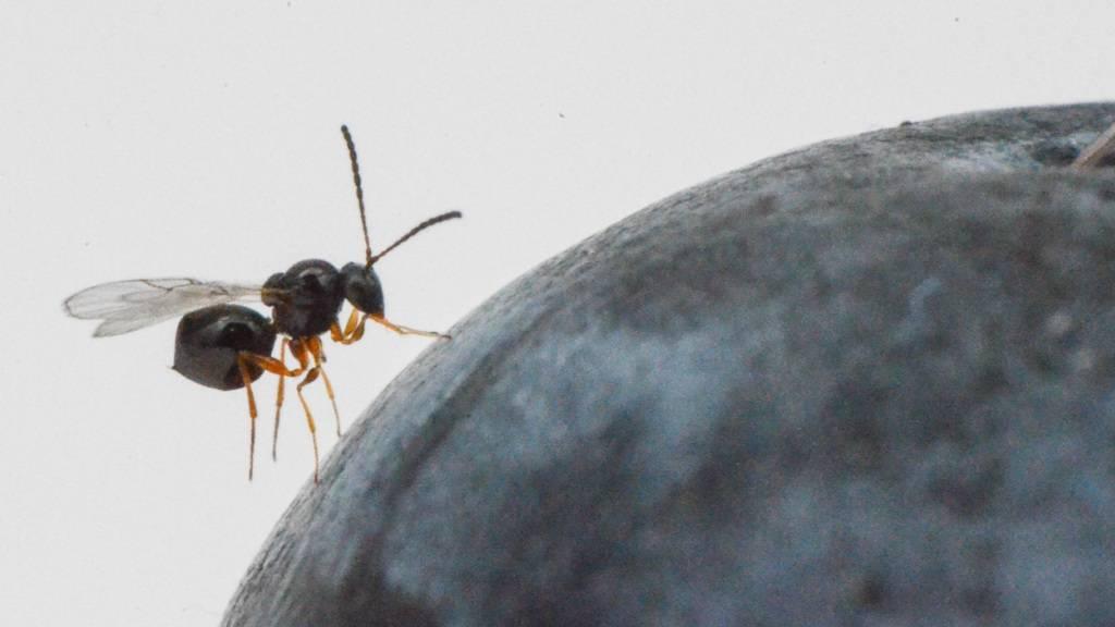 Die Schlupfwespe Ganaspis brasiliensis parasitiert Larven der Kirschessigfliege in reifenden Früchten und könnte sich daher als biologischer Schädlingsbekämpfer eignen.