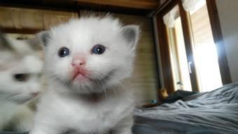 Susy Aeschlimann züchtet in Schmiedrued-Walde Ragdoll-Katzen. Momentan hat sie gerade wieder Nachwuchs. Die Büsis sind Anfang Mai auf die Welt gekommen.