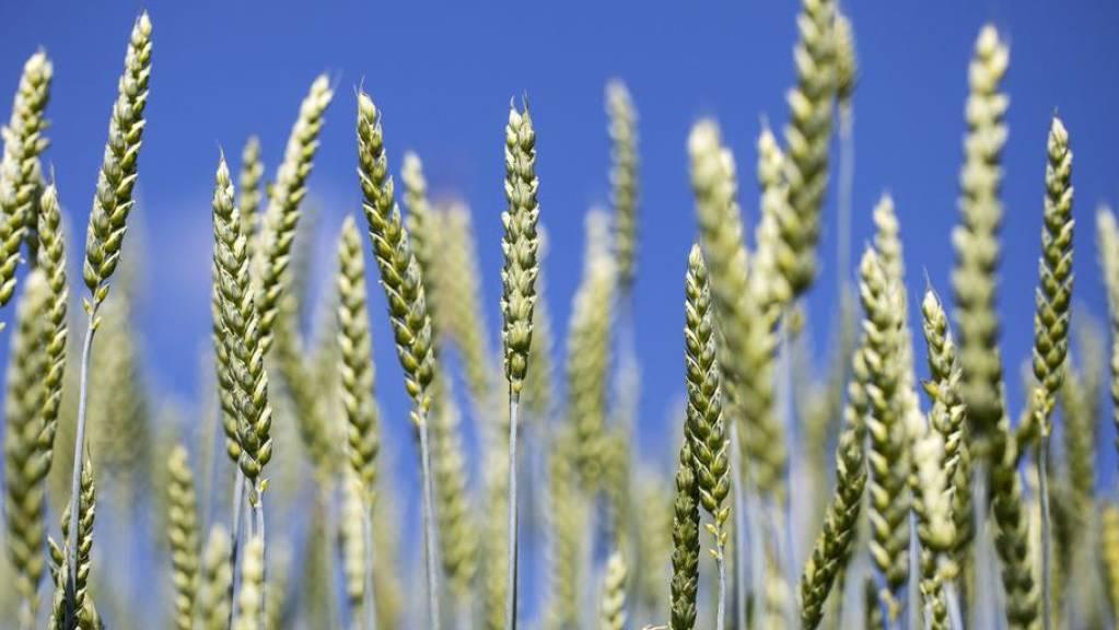 Trotz gestiegener Ausgaben wird die Schweizer Landwirtschaft dieses Jahr über 2 Prozent mehr Wertschöpfung generieren als im Vorjahr, nämlich insgesamt 4,2 Milliarden Franken. Einer der Gründe ist die gute Getreideernte. (Archiv)