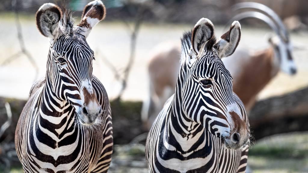 Stark gefährdete Grevyzebras sind neuste Bewohner des Zürcher Zoos