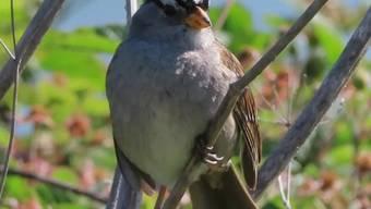 """Weil's im Lockdown so ruhig geworden ist, singen die Dachsammer-Männchen in der San Francisco Bay schöner. Das wirke """"sexy"""" auf die Weibchen, sagen Forscher. Eine künftige Senkung des Lärmpegels könnte also der Artenvielfalt zugute kommen. (zVg)"""