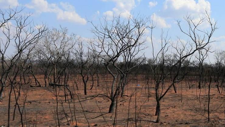 Der Chiquitano-Trockenwald beherbergt um die 1200 Tierarten. Brandrodungen zerstören dieses Ökosystem. (Archivbild)