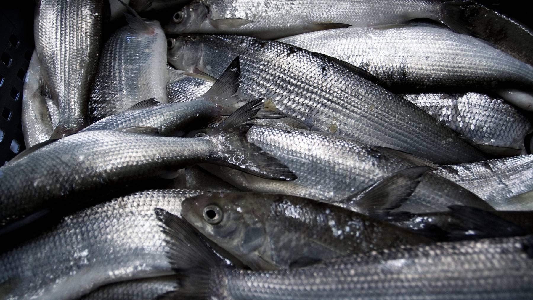 Die Fischfänge gehen zurück. Nun sollen Lösungen her für die Berufsfischer.