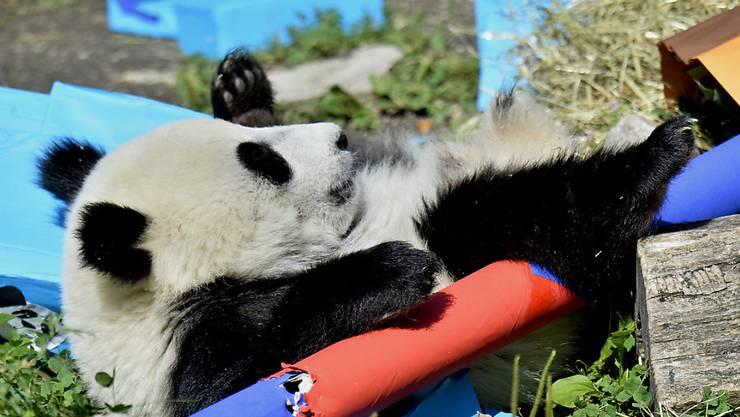 Die Wiener Panda-Zwillinge bekommen bunte Geschenke zum ersten Geburtstag. Panda-Junge Fu Ban zeigte sich neugierig - seine Schwester Fu Feng verschlief den Geburtstagstrubel.