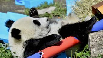 Panda-Geburtstag in Wien