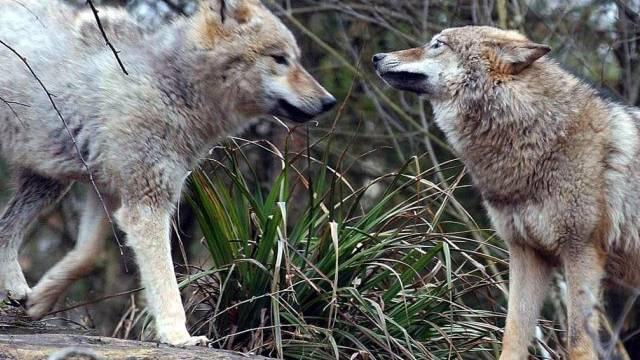 Zwischen 25 und 30 Wölfe leben heute in der Schweiz (Archiv)