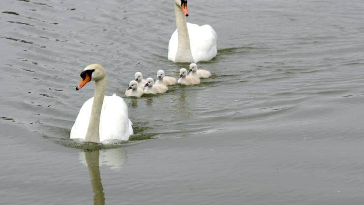 Höckerschwäne schwimmen mit ihren Jungen auf einem See. (Archiv)