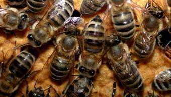 Gesunde Bienen wie diese sind vor der Bösartigen Faulbrut zu schützen. (chr)