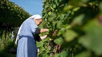 Klosterfrauen in Fahr ernten Trauben von ihren eigenen Rebhängen