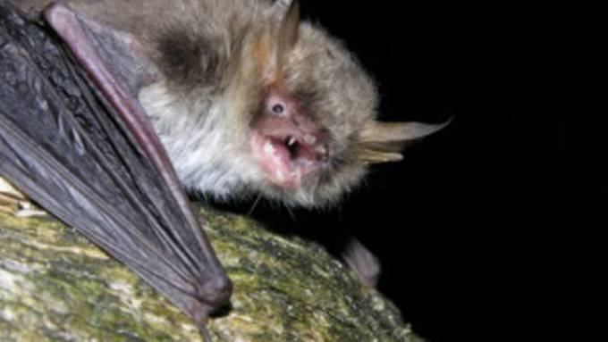 Der Name passt: Die neue Art Myotis crypticus lebt zwar in den Wäldern Europas, blieb aber lange als eigene Art unerkannt.