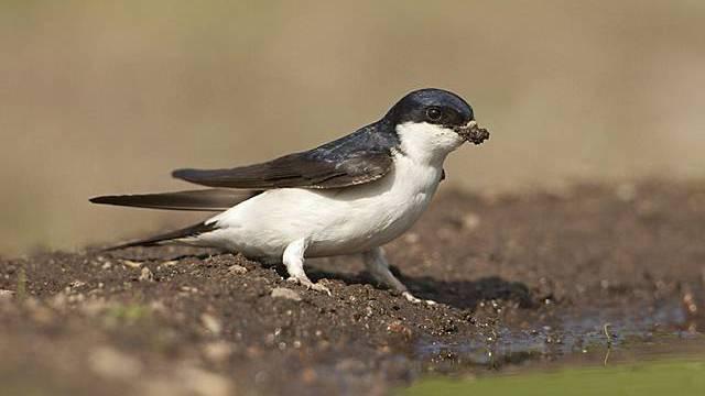 Mehlschwalbe ist der Vogel des Jahres (Archiv)
