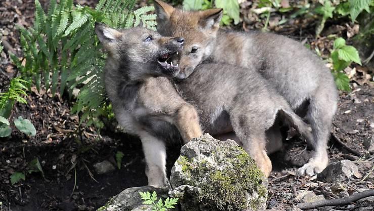Die Wildhut des Kantons Wallis hat am Mittwoch einen zum Abschuss frei gegebenen Jungwolf abgeschossen.