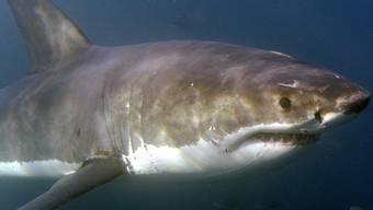 Mögen eigentlich gar kein Menschenfleisch: Haie (Symbolbild)