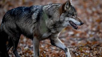 Genetische Untersuchen zeigen: Es war ein Wolf, der Ende November im thurgauischen Berg mehrere Schafe riss und verletzte (Archivbild)