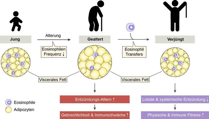 Mit zunehmendem Alter reduziert sich der Anteil an Eosinophilen im Fettgewebe. Eine Zelltherapie soll den Organismus verjüngen.