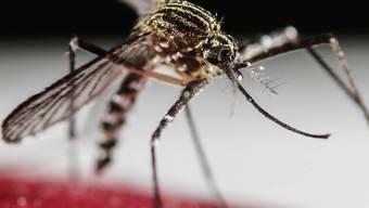 Das Zika-Virus wird durch Stiche der Tigermücken übertragen.
