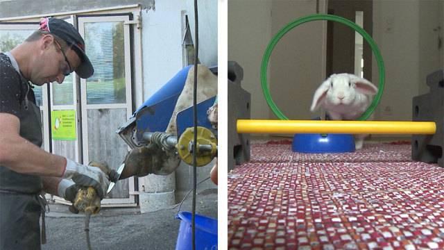 Pedicure für Kühe / Kaninchen Training