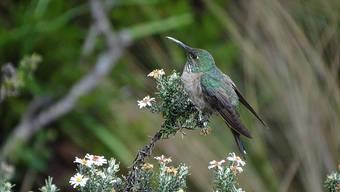 Schillernde blaue Federn am Hals sind das Merkmal der in Ecuador neu entdeckten Kolibri-Art.