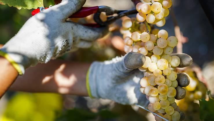 Gesunde Trauben in üppiger Menge: Die Weinernte 2018 war in der Schweiz aussergewöhnlich gut.