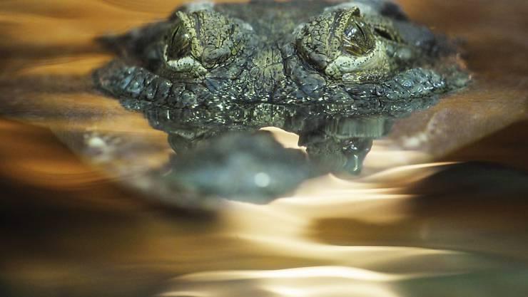Auf der thailändischen Ferieninsel Phuket wurde ein bis zu drei Meter langes Krokodil im Meer gesichtet. (Symbolbild)