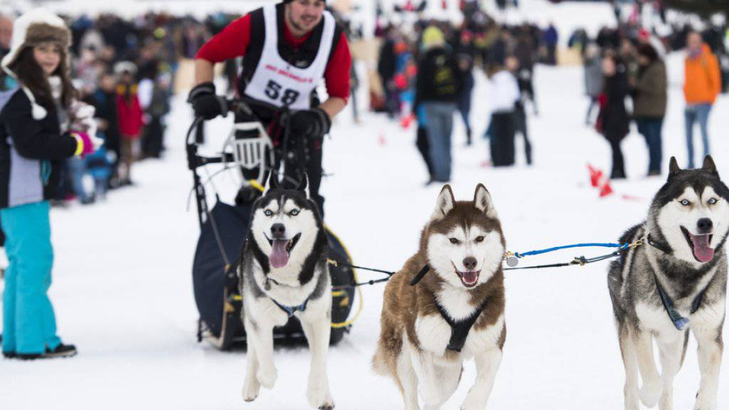 Ein Hundegespann am Rennen vom Sonntag in Saignelégier.