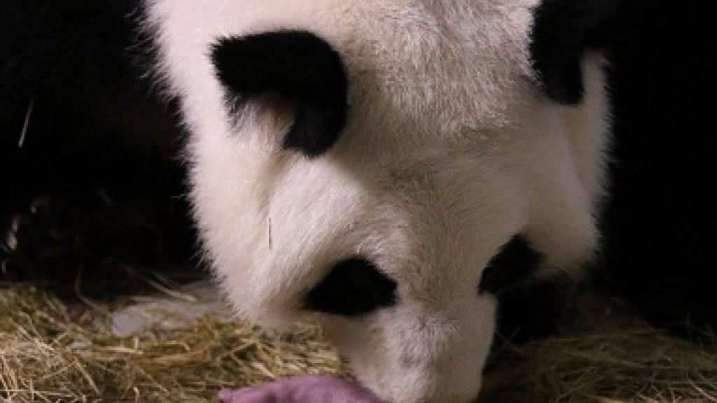 Lun Lun kümmert sich um ihr Neugeborenes: Die Panda-Mama hat bereits sieben Kleine auf die Welt gebracht.