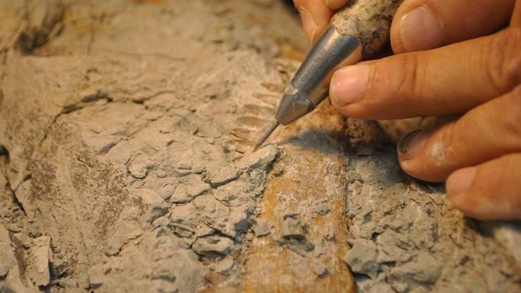 Paläontologe Ben Pabst mit dem präparierten Fuss von «XL», dem riesigen Plateosaurier aus der Fricker Tongrube.