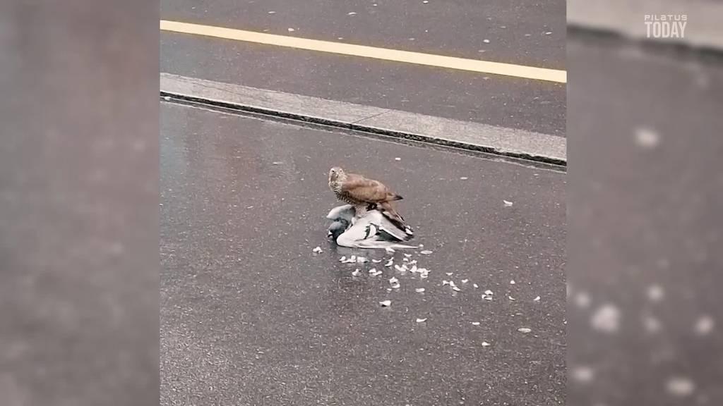 Hat sich der Greifvogel in die Stadt verirrt?