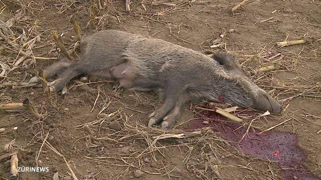 Wer ist der brutale Wildschwein-Killer
