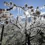 Die Schweizer Bauern litten heuer stark unter dem Frost. Gute Ernten im Ackerbau bringen aber den Ausgleich. (Themenbild)