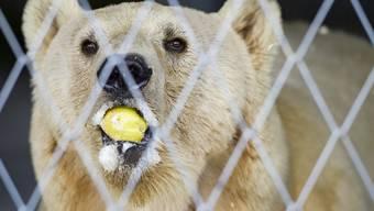 """Das Bärenland in Arosa ist sein neues Zuhause. """"Napa"""", der letzte serbische Zirkusbär, ist im Bündner Ferienort eingetroffen."""