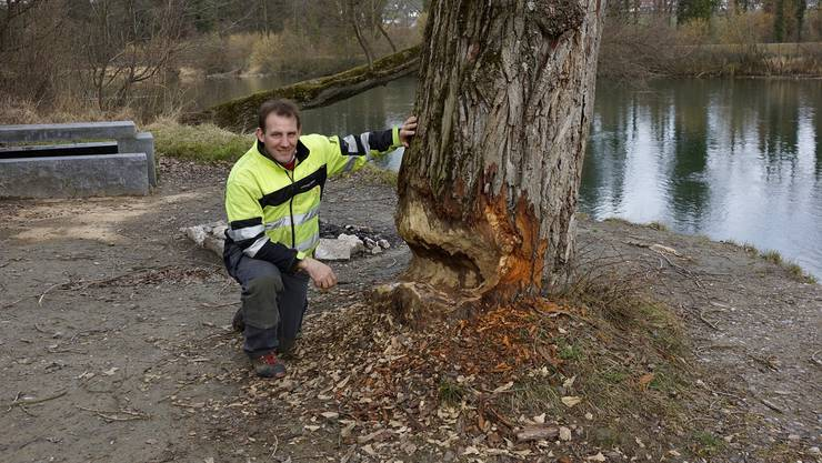 Förster Christoph Schmid zeigt einen Baumstamm, der vom Biber angenagt wurde.