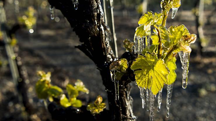 Um ihre Reben vor Frost zu schützen, haben einige Winzer diese mit Wasser besprüht. (Archivbild)