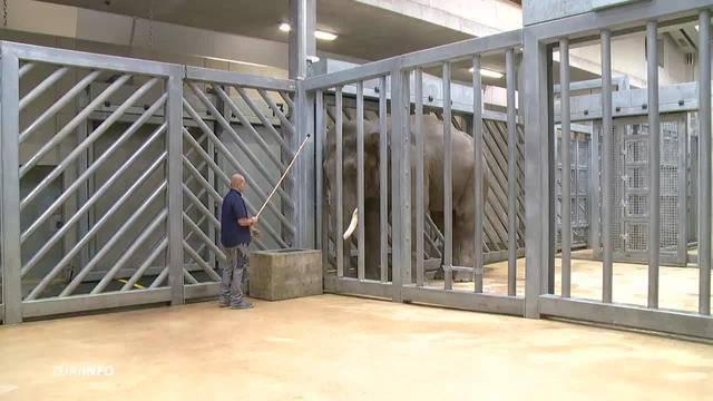 Neuer Elefantenbulle