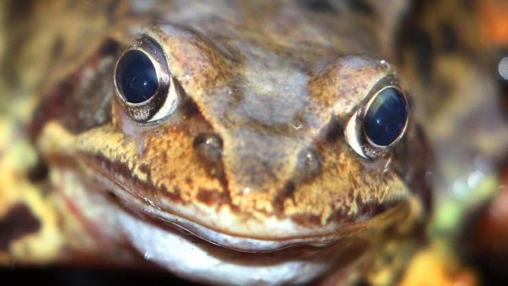 Wie finnische und schwedische Wissenschaftler beobachtet haben, können Frösche - hier ein Grasfrosch - in der Dunkelheit Farben unterscheiden. (Archiv)
